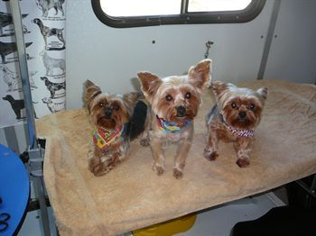 Gizmo, PD and Jelly Bean (L to R) - Jelly Bean says that she is so happy that her MOM found Hound'z Of Hollywood and is taking such good care of her family and don't we look fabulous!!!